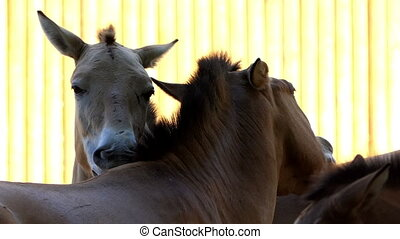 Three Horses Lick And Caress Each Other