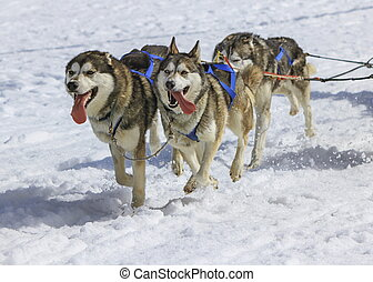 Three husky dogs at race in winter, Moss pass, Switzerland