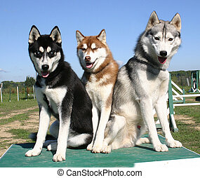 three huskys - familiy of siberian husky
