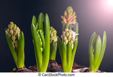 Three hyacinths flowers