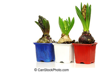 three hyacinths in colorful pots