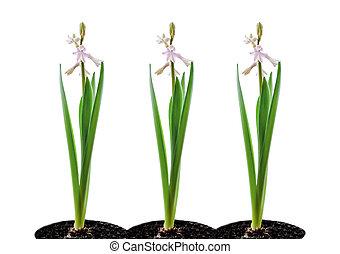 three hyacinths on white background