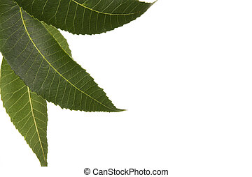 Three isolated leaves from a Texas native pecan tree
