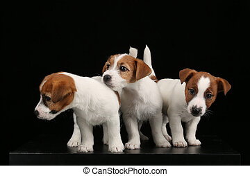 Three isolated puppies. Black background