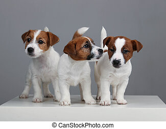Three jack russell babies. Close up. Gray background