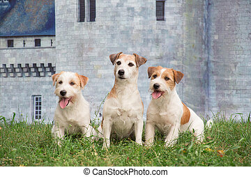 Three jack russell terrier puppies are sitting on the green grass against the background of a stone wall of an castle.