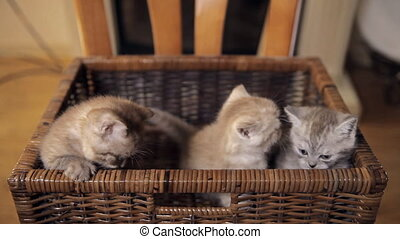 Three kittens are sitting in a basket