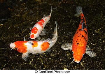 koi carp - Three koi carp movement in water