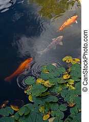 Three koi in the pond - Three koi fish in the pond with lily...