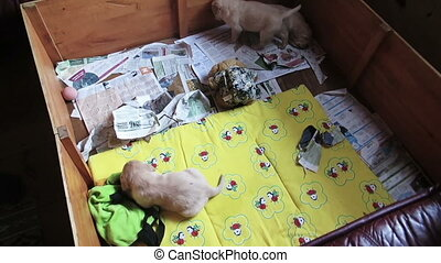 Three Labrador Retriever Puppies in pen box