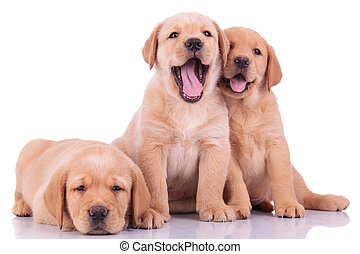 three labrador retriever puppy dogs, two barking and one...