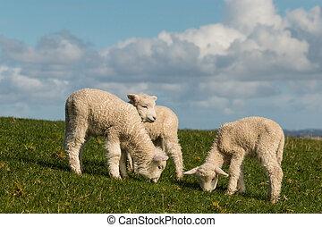 three lambs grazing