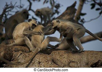 Three langurs playing