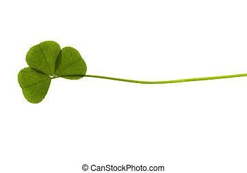 Three Leaf Clover isolated on the white background