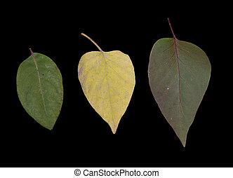 Three Leaves