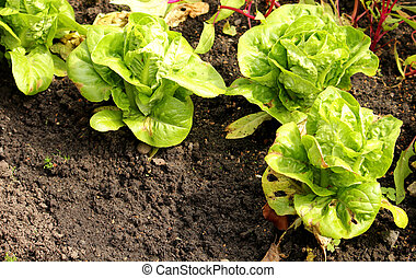 Three lettuce with copy space