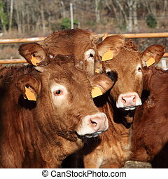 Three Limousin Calves - Headshot of three young Limousin...