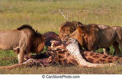 Three Lions (panthera leo) eating in savannah - Three male...