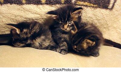three little funny kittens play