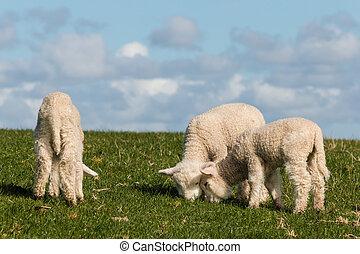 three little lambs grazing