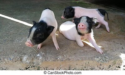 Three little pigs in the farm