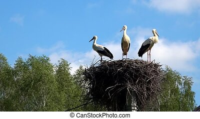 Three little storks in a nest