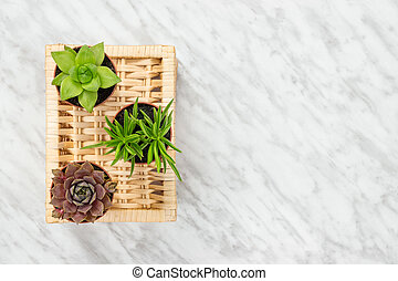 Three little succulent plants on marble background