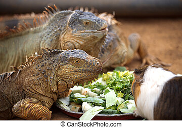 lizard eat the leaves - Three lizard eat the leaves of the ...