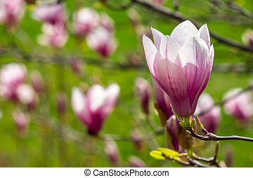 magnolia flowers close up on a green grass background -...