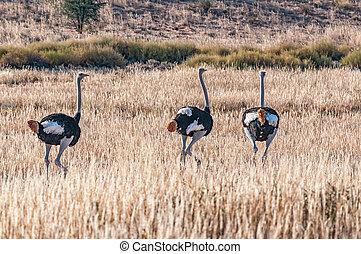Three male Ostriches, Struthio camelus, running in grass