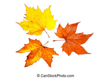 Three maple leaves, isolated on white background