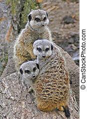 Three Meerkats huddled