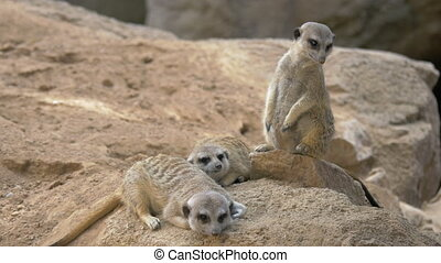 Three meerkats with one being on the alert - Three suricates...