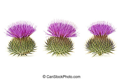 Three milk thistle flowers isolated on a white background