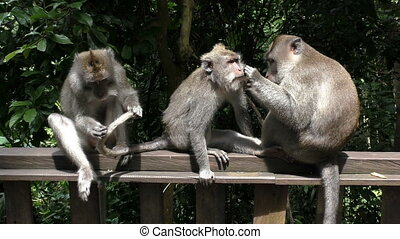 Three monkeys comb fleas, against the rainforest - Three...