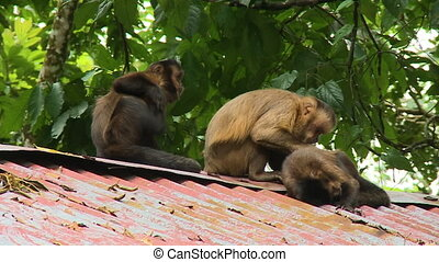 Three Monkeys Sitting on a Roof - Steady, medium closeup ...