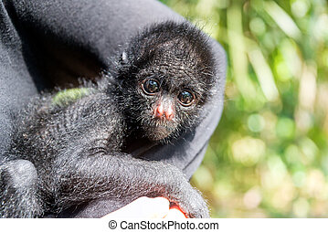 Three Month Old Spider Monkey - Woman holding a small three...