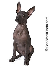 Three month old xoloitzcuintle puppy - Three month old...