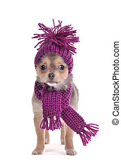 Chihuahua puppy funnily Dressed for Cold Weather isolated on white background