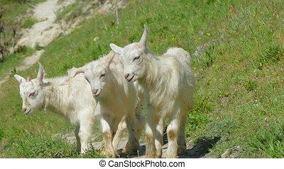 Three Mountain Baby Goats Walking On Green Slope