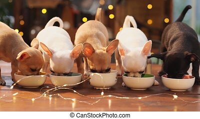Three multi-colored Chihuahua puppies eat from bowls against the backdrop of a garland. breeding thoroughbred dogs. advertising pet food. New Year's Eve