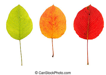 Three multicolored autumn leaves of pear on isolated