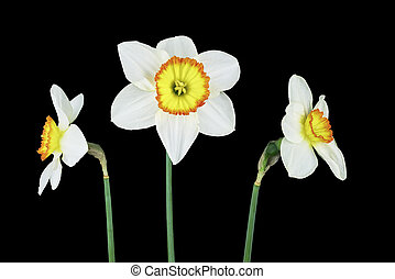 Three narcissus isolated