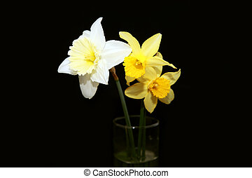 three narcissus over black