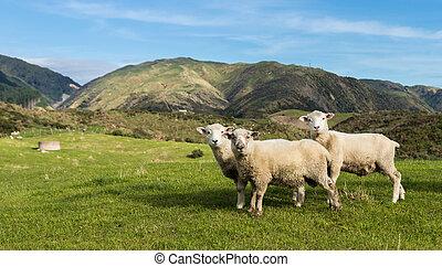 Three New Zealand Sheep