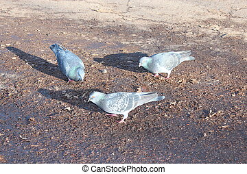 pigeons feeding on the ground