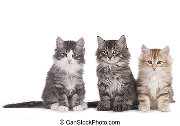 Three norwegian forest kitten side by side isolated on white