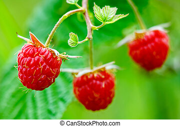 three of raspberry with leaf on green background
