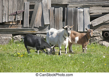 Three old goats. - Several goats stand in the grass in front...