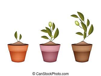 Three Olives Tree in Ceramic Flower Pots